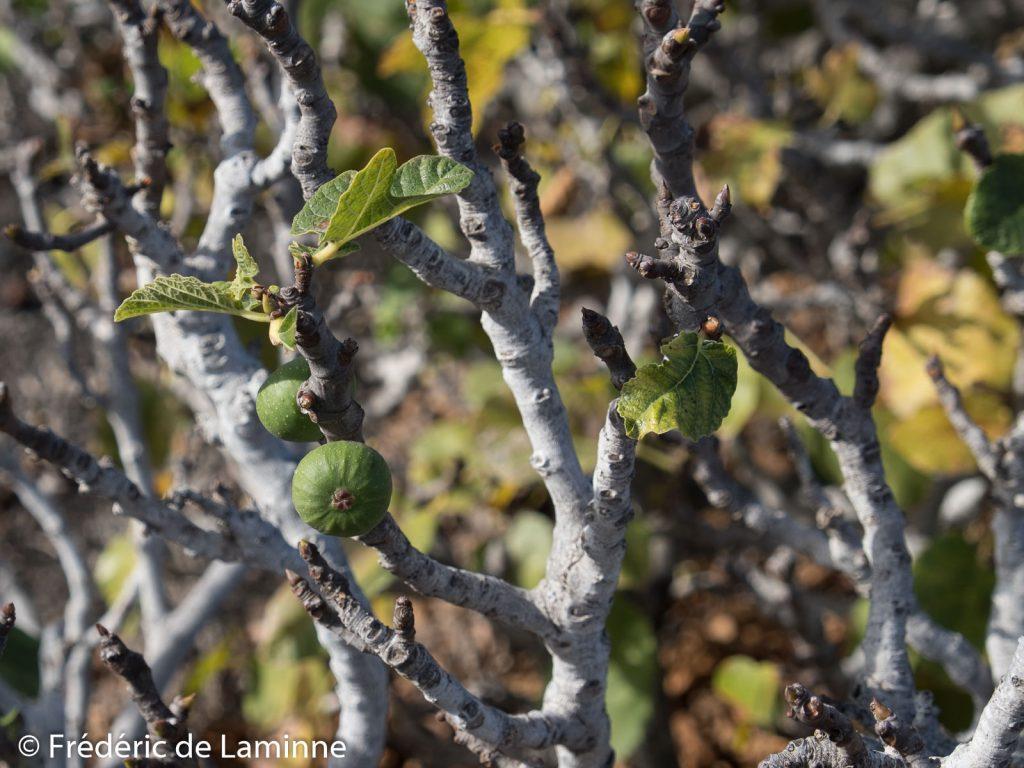 Les pluies de début octobre dans le parc national de Timanfya permettent aux figuiers de porter des fruits pour la deuxième fois de l'année.
