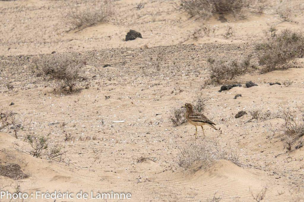 Un Œdicnème criard observé lors de l'activité de sensibilisation avec Desert Watch Lanzarote à El Jabble desert (Soo) sur l'île de Lanzarote, Canaries le 12/09/2020. Photo : Frédéric de Laminne