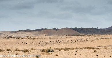 troupeau de chèvres dans El Jabble