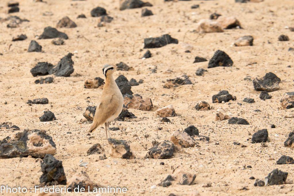 Un Courvite isabelle observé lors de l'activité de sensibilisation avec Desert Watch Lanzarote à El Jabble.