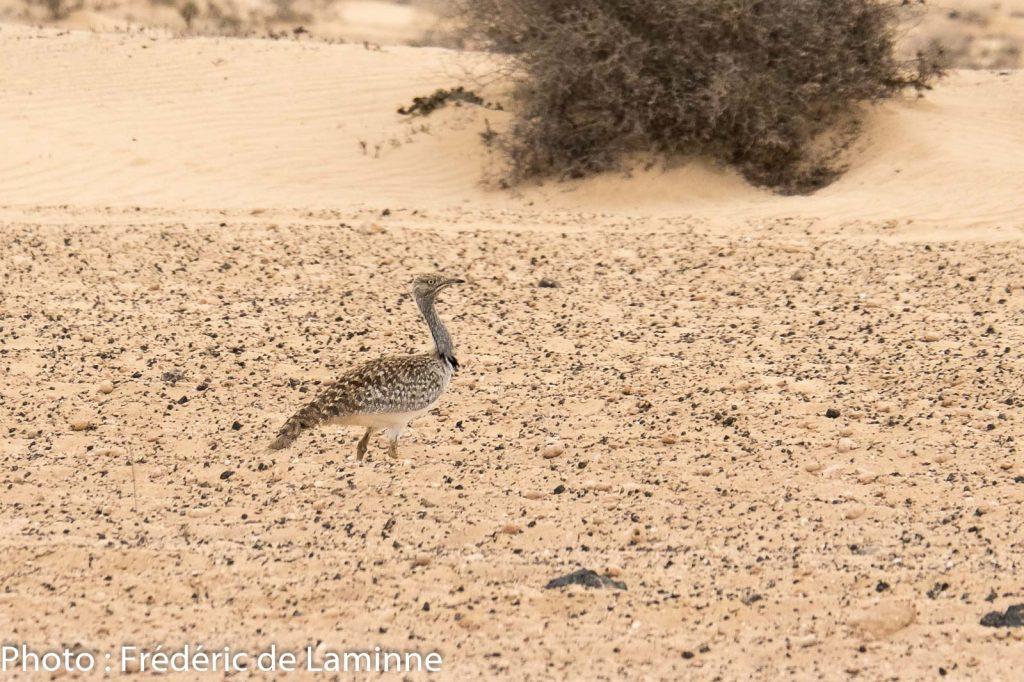 Une Outarde Houbara dans le désert El Jabble (Soo) sur l'île de Lanzarote, Canaries