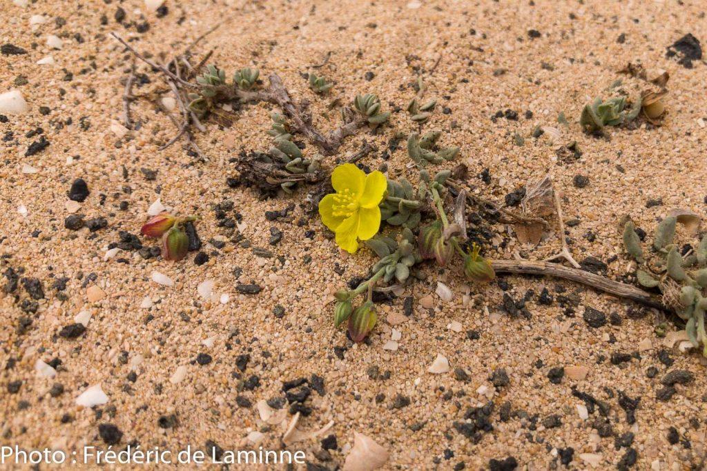 Le désert d'El Jabble une zone sans vie ? Cette fleur montre le contraire.