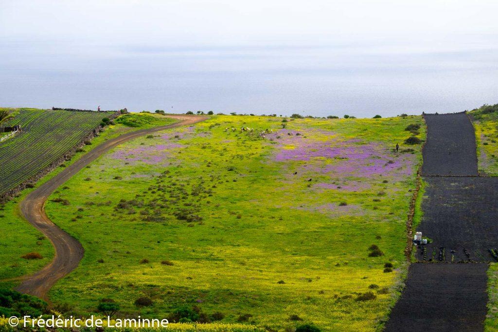 Un troupeau de chèvres profite de l'herbe et des fleurs qui ont poussé en abondance avec les pluies de fin 2020.
