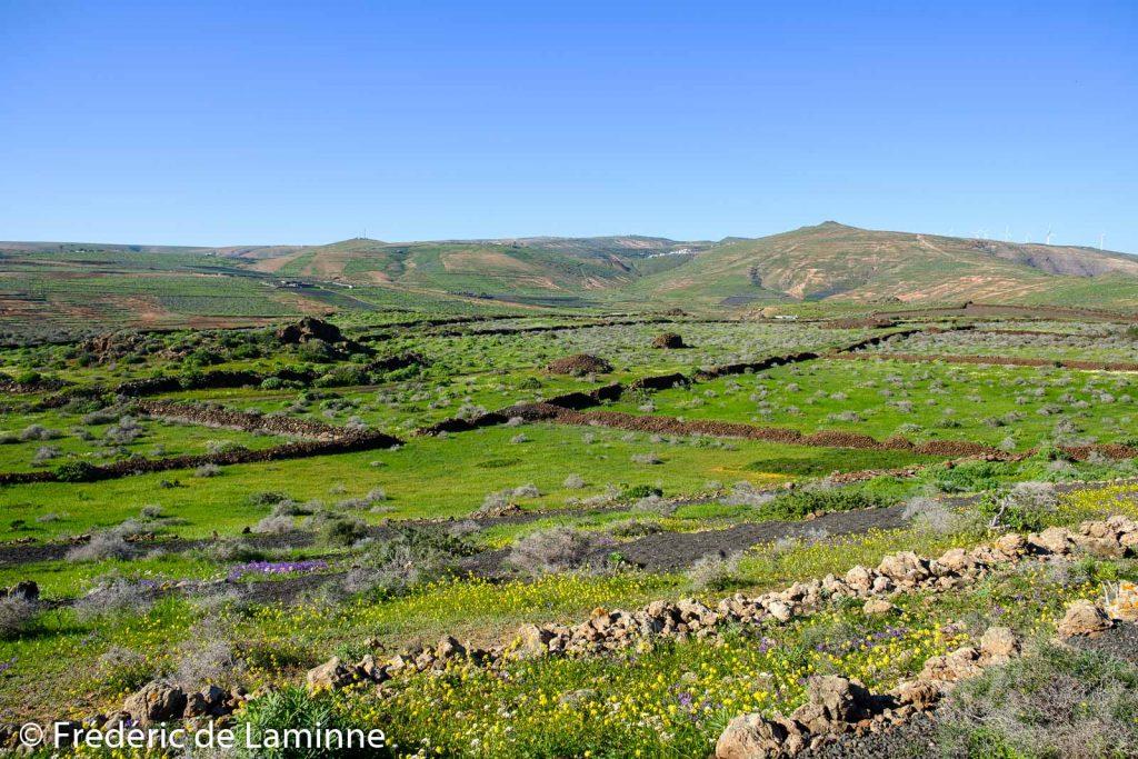 Les anciens champs près de la rofera de Teseguite se sont colotés de vert et de jaune